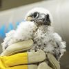 Peregrine falcon at Lakeridge Health Oshawa