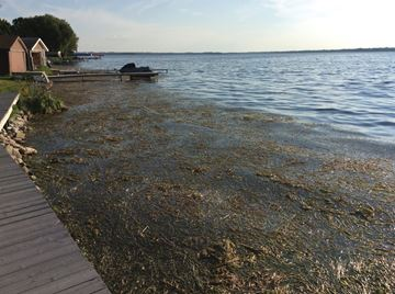 Weeds on Sturgeon Lake