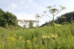 Oakville man wants Petro Canada Park closed to prevent hogweed injuries