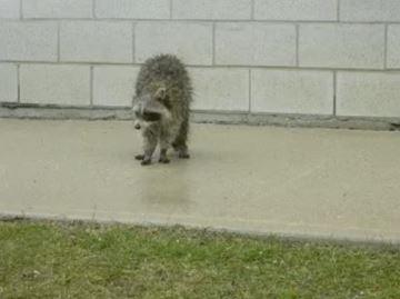 Sick raccoon