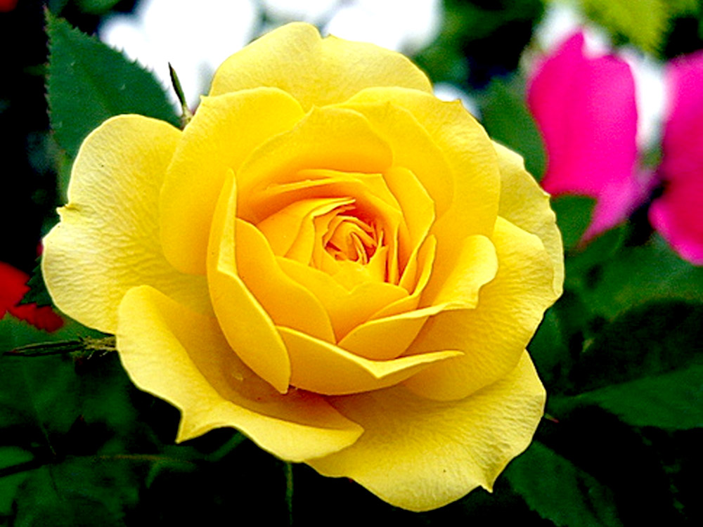 Top 5 flowers for valentines day durhamregion 2 yellow roses meaning friendship mightylinksfo
