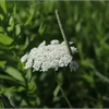 How to identify Queen Anne's lace